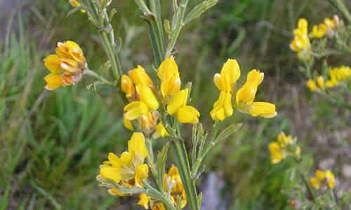 planta Carqueja