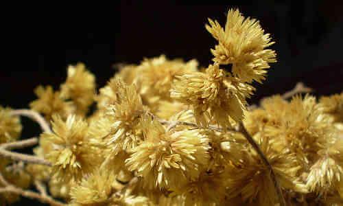 planta marcela