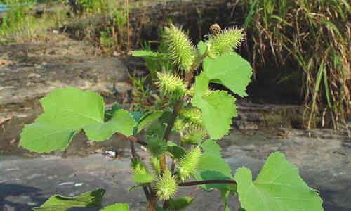 foto planta bardana menor