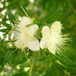 arrayán, plantas medicinales