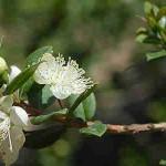 planta foto arrayan