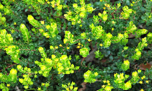 fotos planta buchu