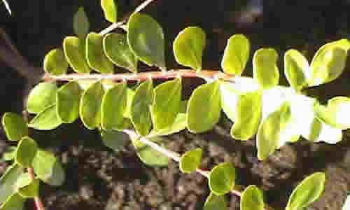 planta buchu