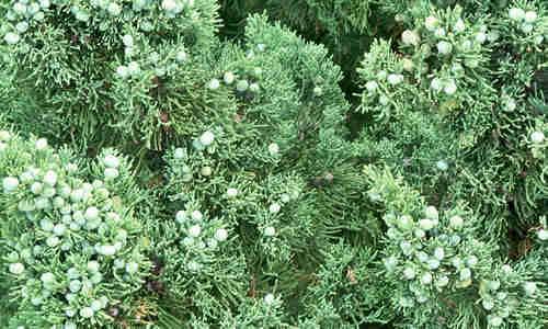 planta Enebro
