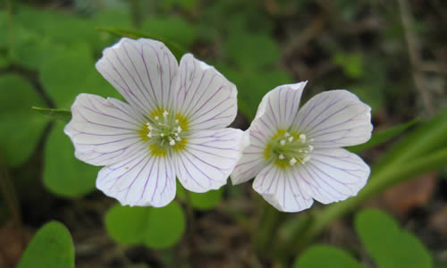 aleluya planta curativa