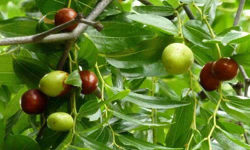 fotos planta Azufaifo