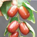 azufaifo, plantas medicinales