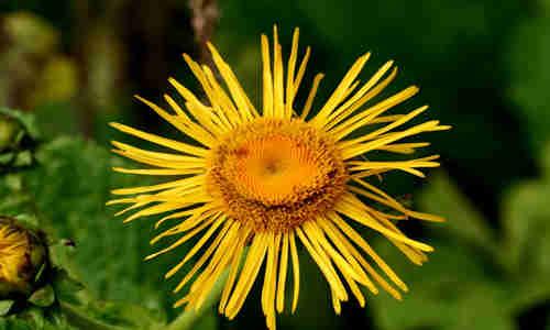 fotos planta enula