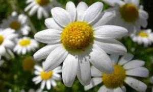 planta manzanilla