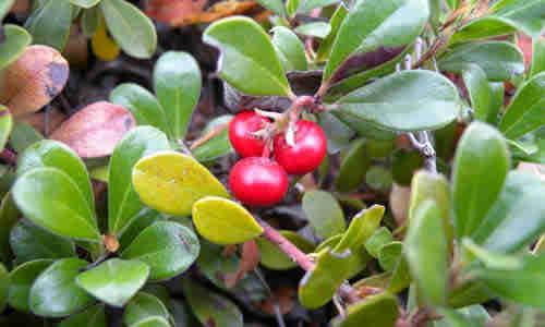 planta medicinal gayuba