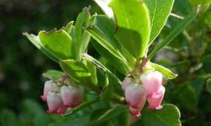 Gayuba, planta medicinal para infecciones urinarias.
