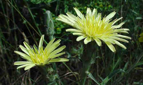 fotos planta Escorzonera