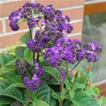 Heliotropo, plantas curativas