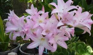flor belladona