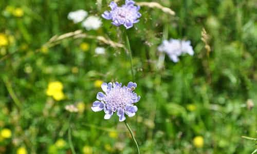 foto de Scabiosa planta