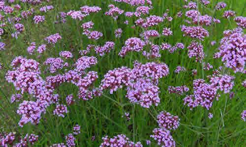 Verbena como plantas medicinal y sus propiedadas curativas ...