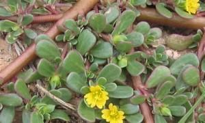 foto planta verdolaga