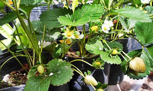 fotos planta frutillas