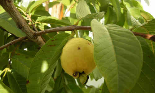 fotos planta guayaba