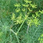 Eneldo, Anethum graveolens, fotos