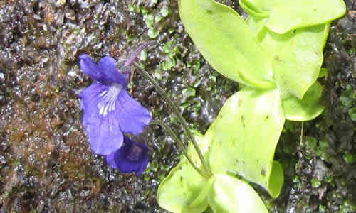 fotos planta Grasilla