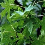Estoraque, fotos de plantas medicinales
