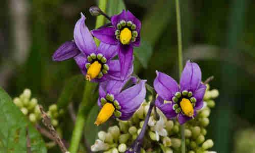 fotos planta dulcamara