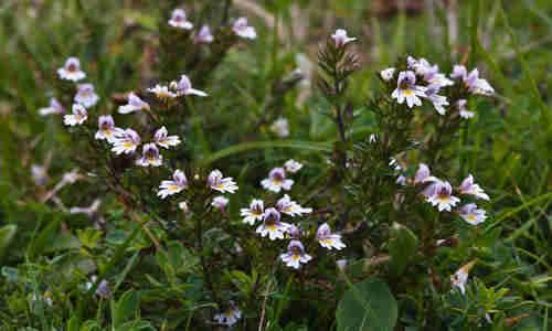 planta foto eufrasia