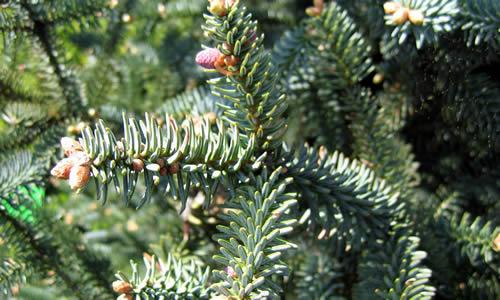 abeto planta curativa