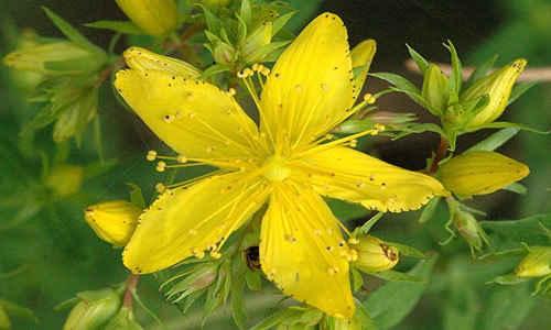 fotos plantas Hiperico
