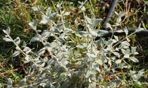 Olivilla