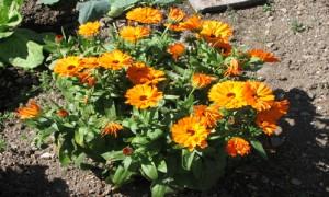 Calendula, planta medicinal