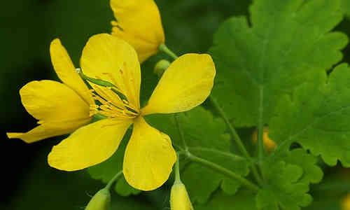 planta medicinal Celidonia