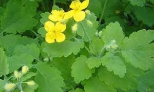 planta Celidonia