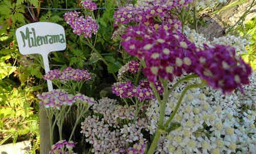fotos planta Milenrama