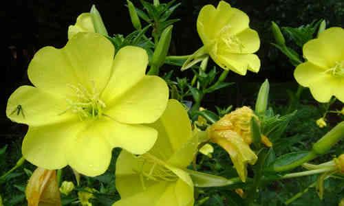planta onagra