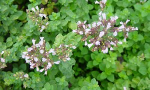 Oregano, planta medicinal