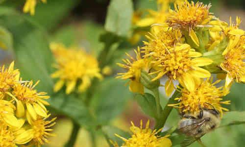 fotos plantas Solidago