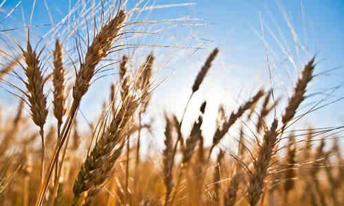 foto planta trigo