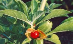 foto planta Bufera