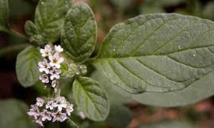 Verrucaria (Heliotropium europaeum)