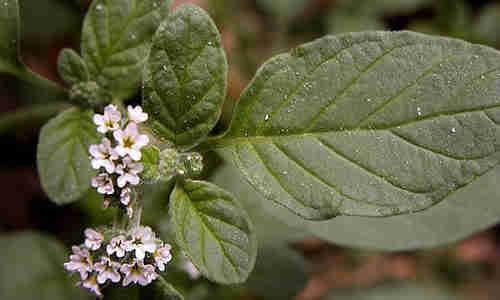 planta Verrucaria