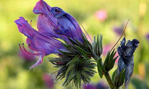 planta Viborera