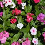 plantas medicinales - Vincapervinca
