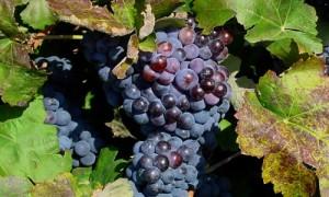 Uvas y sus Propiedades