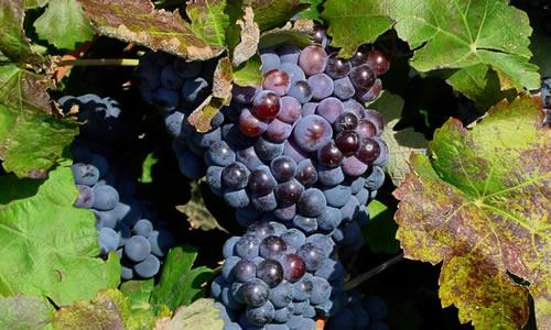uva y vid como planta curativa