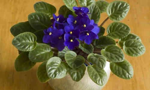 fotos planta violetas