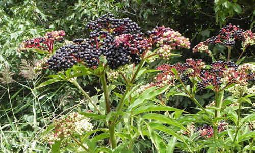 planta yezgo