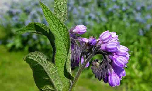planta Consuelda
