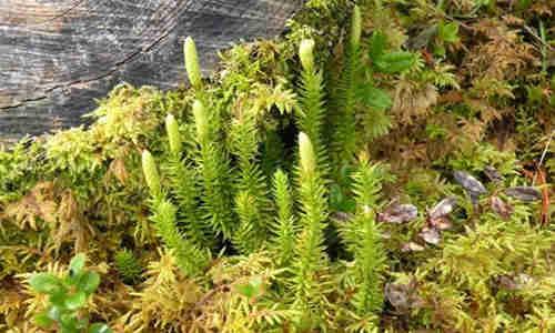 planta medicinal licopodio